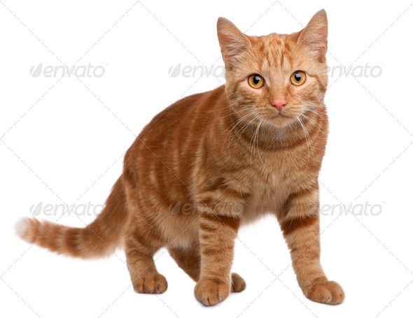 Ginger mixed breed cat, 6 months old, standing in front of white background - Stock Photo - Images