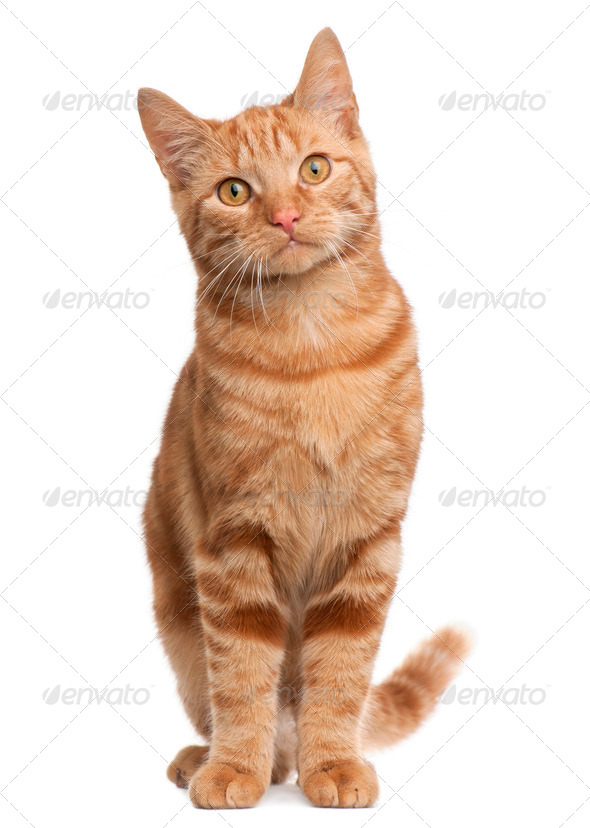 Ginger mixed breed cat, 6 months old, sitting in front of white background - Stock Photo - Images