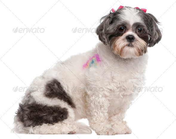 Shih Tzu, 2 years old, sitting in front of white background - Stock Photo - Images