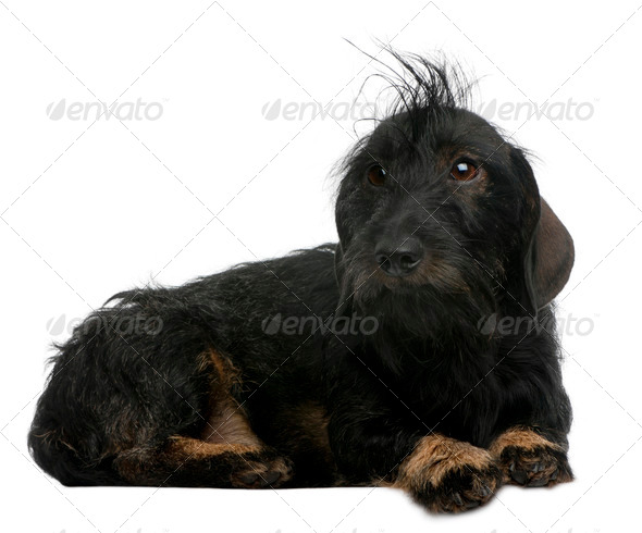 Dachshund, 2 years old, lying in front of white background - Stock Photo - Images
