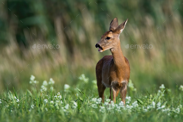 Female roe deer grazing and looking away on hay field in summer nature - Stock Photo - Images