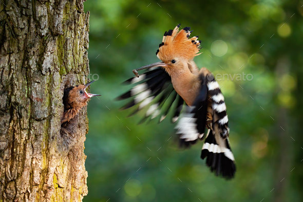 Eurasian hoopoe breeding in nest inside tree and feeding young chick - Stock Photo - Images