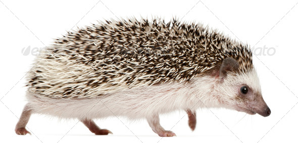 Four-toed Hedgehog, Atelerix albiventris, 2 years old, walking in front of white background - Stock Photo - Images