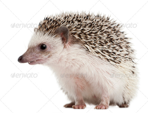 Four-toed Hedgehog, Atelerix albiventris, 2 years old, in front of white background - Stock Photo - Images