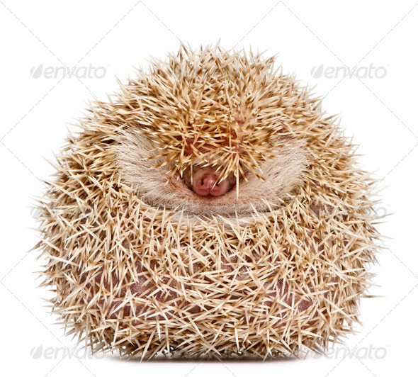 Four-toed Hedgehog, Atelerix albiventris, 2 years old, balled up in front of white background - Stock Photo - Images