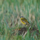 Western yellow wagtail (Motacilla flava) - PhotoDune Item for Sale