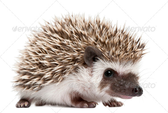 Four-toed Hedgehog, Atelerix albiventris, 3 weeks old, in front of white background - Stock Photo - Images