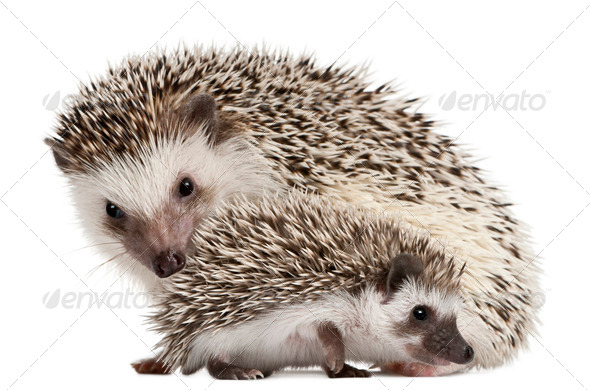 Four-toed Hedgehogs, Atelerix albiventris, 3 weeks old, in front of white background - Stock Photo - Images