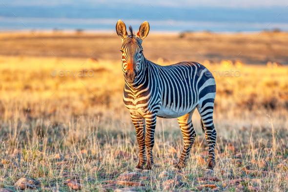 An Alert Cape Mountain Zebra - Stock Photo - Images
