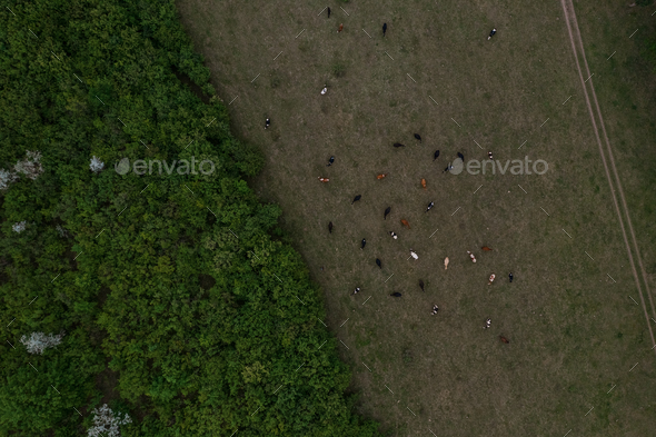 Top view of trees texture, land and cows - Stock Photo - Images