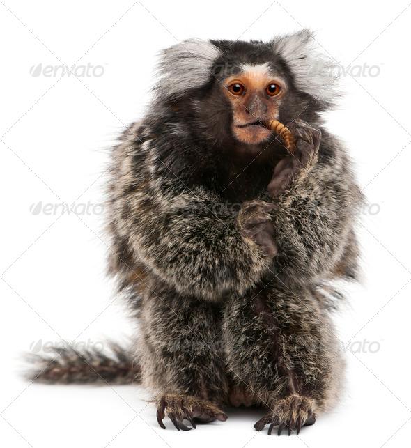 Common Marmoset, Callithrix jacchus, 2 years old, eating worm in front of white background - Stock Photo - Images