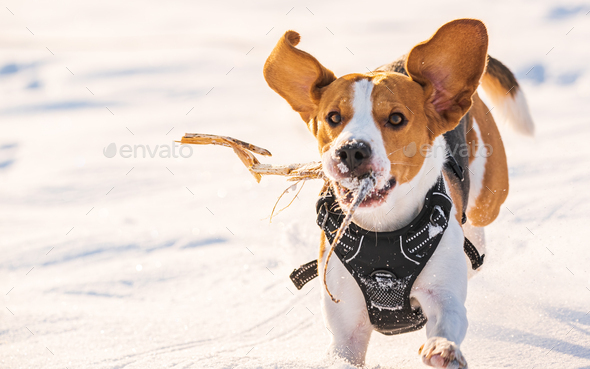 Tricolor beagle dog hound having fun in deep snow in winter - Stock Photo - Images