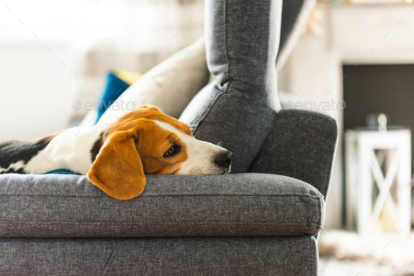 Beagle dog tired sleeps on a cozy sofa in funny position - Stock Photo - Images