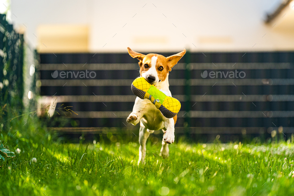 Tricolor beagle dog fetching a riped toy and running towards camera fast - Stock Photo - Images