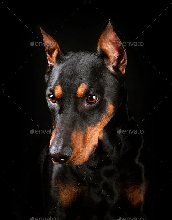 German Pinscher dog - Stock Photo - Images