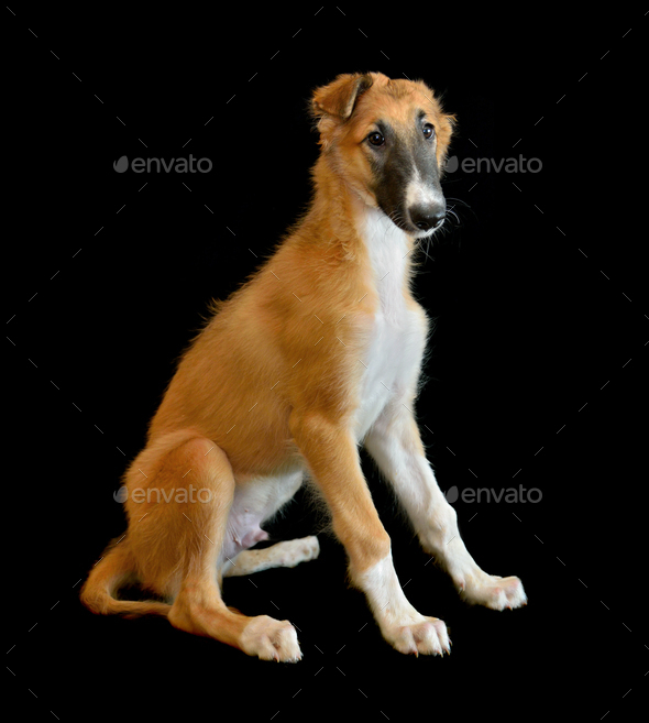 Puppy of Russian borzoi dog - Stock Photo - Images