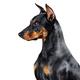 German Pinscher dog - PhotoDune Item for Sale