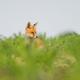 Red Fox - PhotoDune Item for Sale