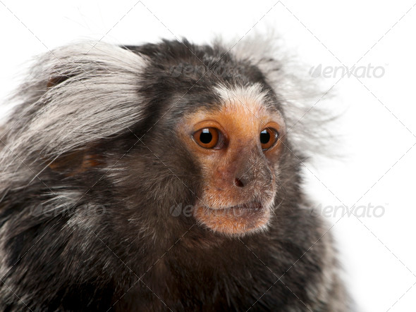 Common Marmoset, Callithrix jacchus, 2 years old, in front of white background - Stock Photo - Images