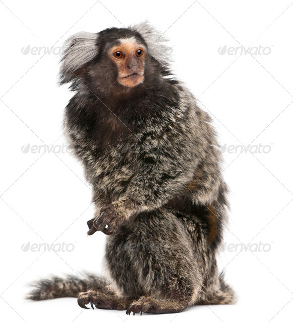 Common Marmoset, Callithrix jacchus, 2 years old, sitting in front of white background - Stock Photo - Images