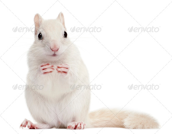 Eastern Chipmunk, Tamias striatus, 2 years old, in front of white background - Stock Photo - Images