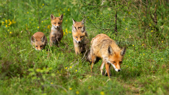 Red fox female and her four cubs hunting and walking in summer forest - Stock Photo - Images