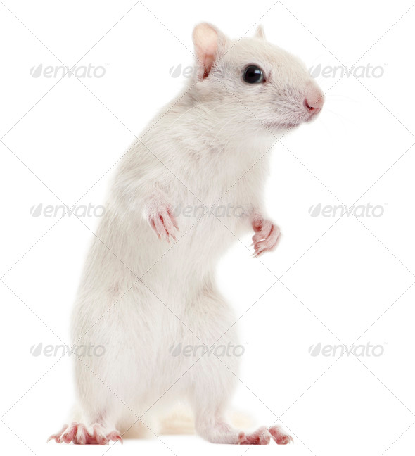 Eastern Chipmunk, Tamias striatus, 2 years old, standing in front of white background - Stock Photo - Images