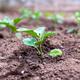 Eggplants young plants growing on the garden. - PhotoDune Item for Sale