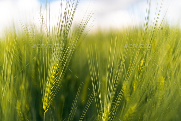 Green wheat on the field in spring. Selective focus, shallow DOF background. - Stock Photo - Images
