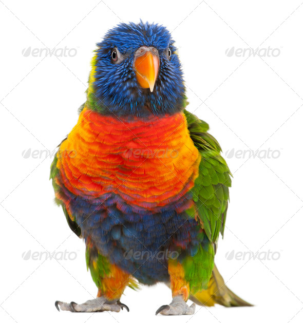 Rainbow Lorikeet, Trichoglossus haematodus, 3 years old, standing in front of white background - Stock Photo - Images