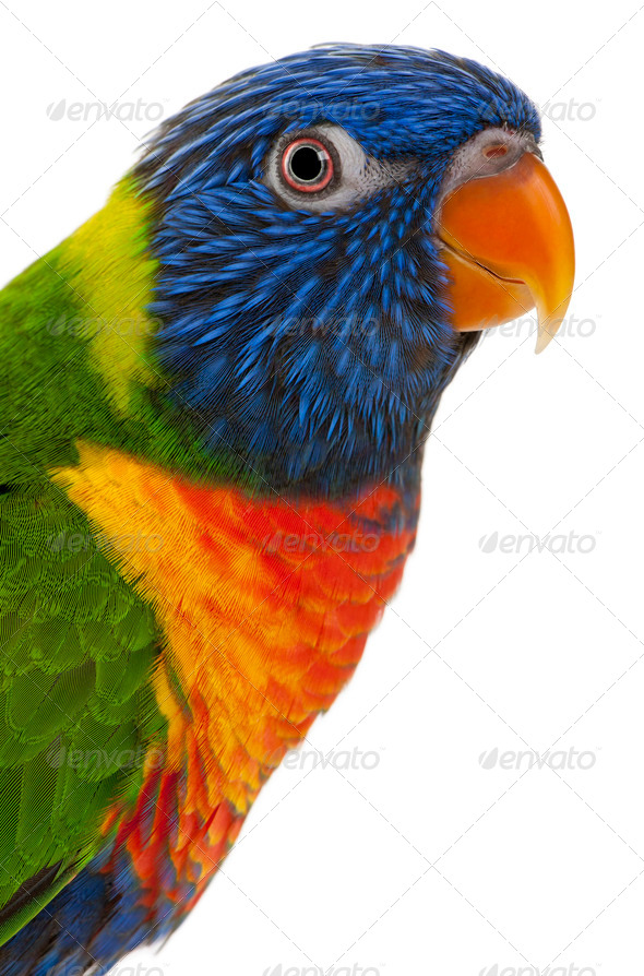 Rainbow Lorikeet, Trichoglossus haematodus, 3 years old, in front of white background - Stock Photo - Images