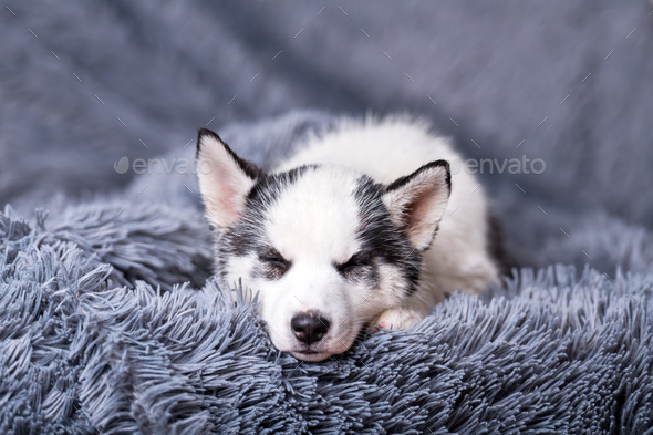 A small white dog puppy breed siberian husky - Stock Photo - Images