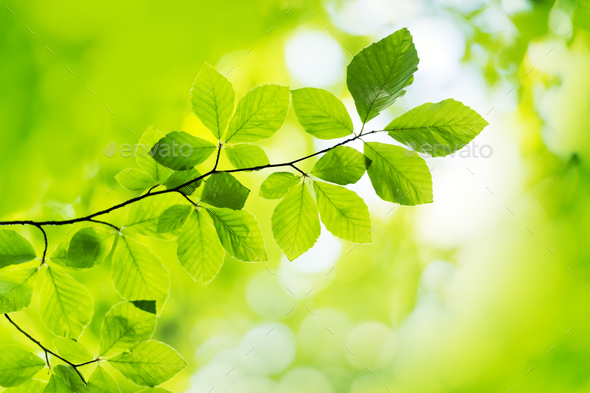 Closeup nature view of green beech leaf on spring twigs - Stock Photo - Images