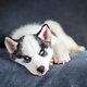 A small white dog puppy breed siberian husky - PhotoDune Item for Sale