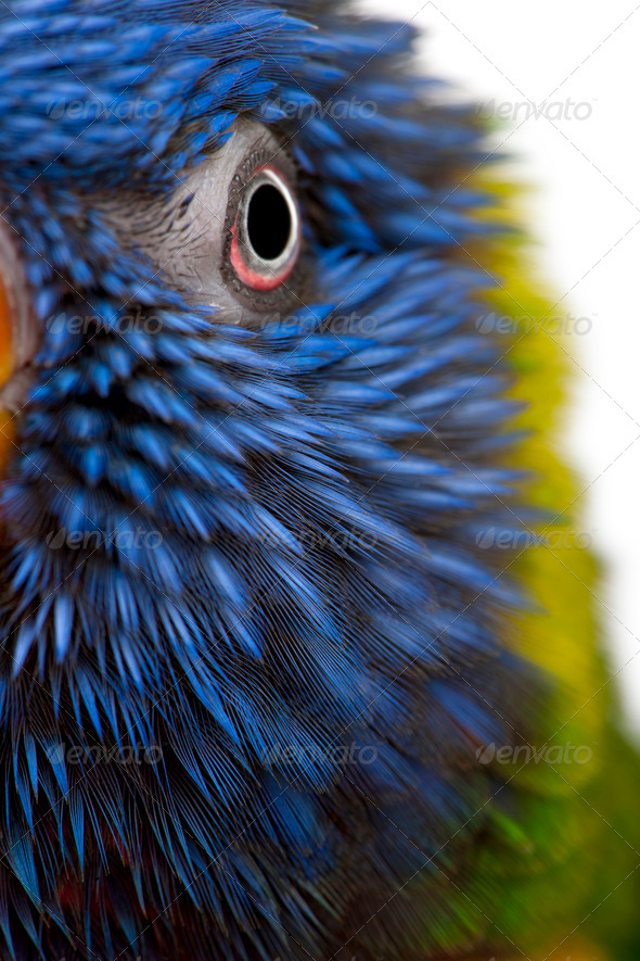 Close-up of Rainbow Lorikeet, Trichoglossus haematodus, 3 years old, in front of white background - Stock Photo - Images