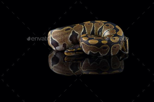The royal python isolated on black background - Stock Photo - Images