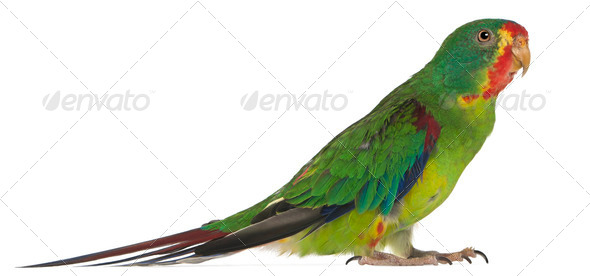 Swift Parrot, Lathamus discolor, 2 years old, standing in front of white background - Stock Photo - Images