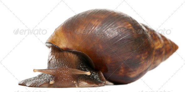 Giant African land snail, Achatina fulica, 5 months old, in front of white background - Stock Photo - Images