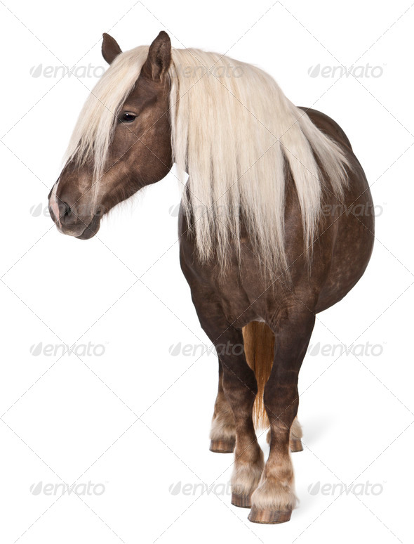Comtois horse, a draft horse, Equus caballus, 10 years old, standing in front of white background - Stock Photo - Images