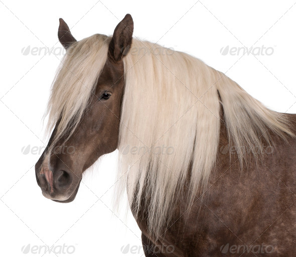 Comtois horse, a draft horse, Equus caballus, 10 years old, in front of white background - Stock Photo - Images