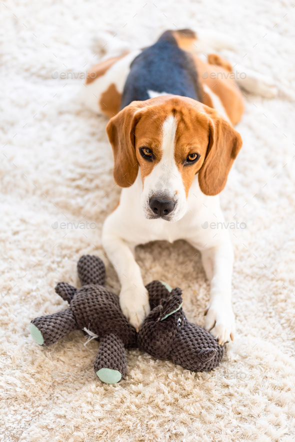 Beagle dog with a owl toy on a carpet . Original photo - Stock Photo - Images