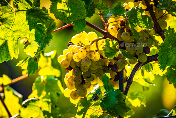 Green grapes on vineyard over bright green background. Sun flare - Stock Photo - Images