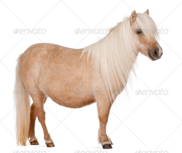 Palomino Shetland pony, Equus caballus, 3 years old, standing in front of white background - Stock Photo - Images