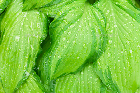 Rain water dew drops on leaves - Stock Photo - Images