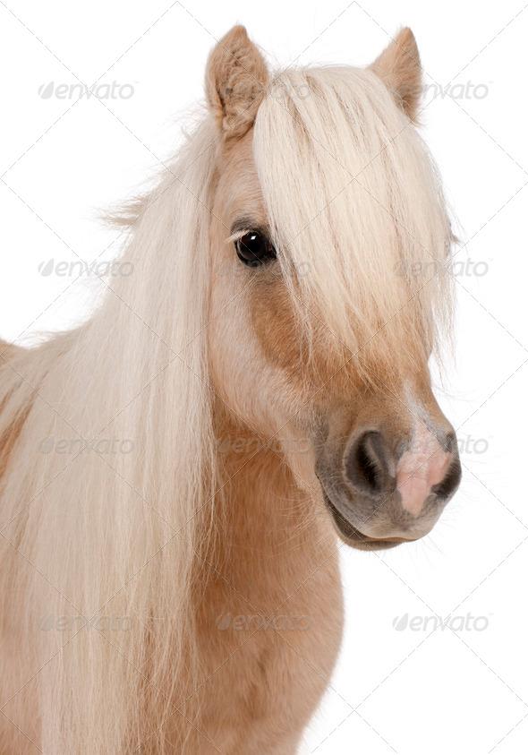 Palomino Shetland pony, Equus caballus, 3 years old, in front of white background - Stock Photo - Images