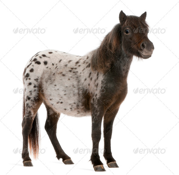 Appaloosa Miniature horse, Equus caballus, 2 years old, standing in front of white background - Stock Photo - Images