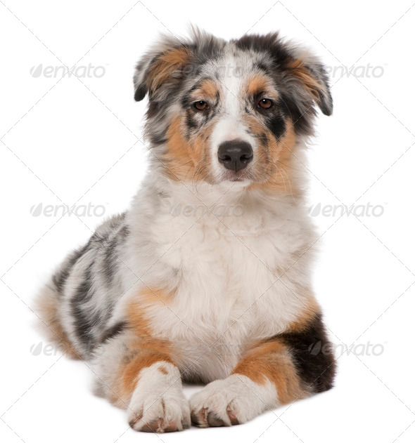 Australian Shepherd puppy, 5 months old, lying in front of white background - Stock Photo - Images
