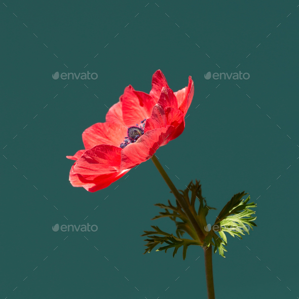Red Anemone Flower in Sunlight on Turquoise Background. - Stock Photo - Images