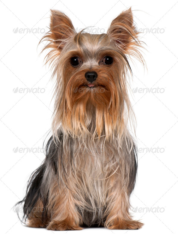Yorkshire Terrier, 1 year old, sitting in front of white background - Stock Photo - Images