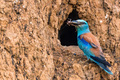 European roller or Coracias garrulus with prey - PhotoDune Item for Sale